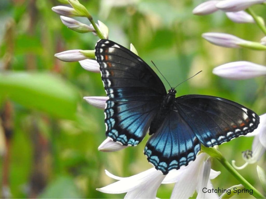 (Over) 60 Host Plants for Attracting Beautiful Butterflies to Your Yard! - Red-spotted Purple
