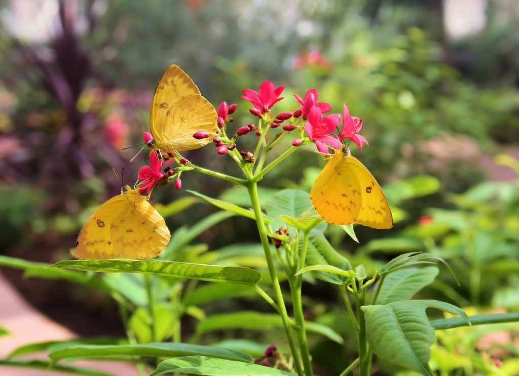 (Over) 60 Host Plants for Attracting Beautiful Butterflies to Your Yard! - sulphur butterflies