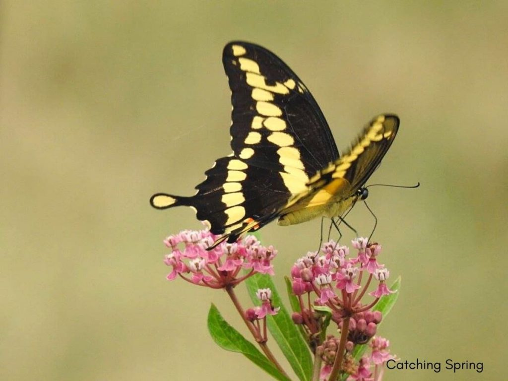 (Over) 60 Host Plants for Attracting Beautiful Butterflies to Your Yard! - Swallowtails
