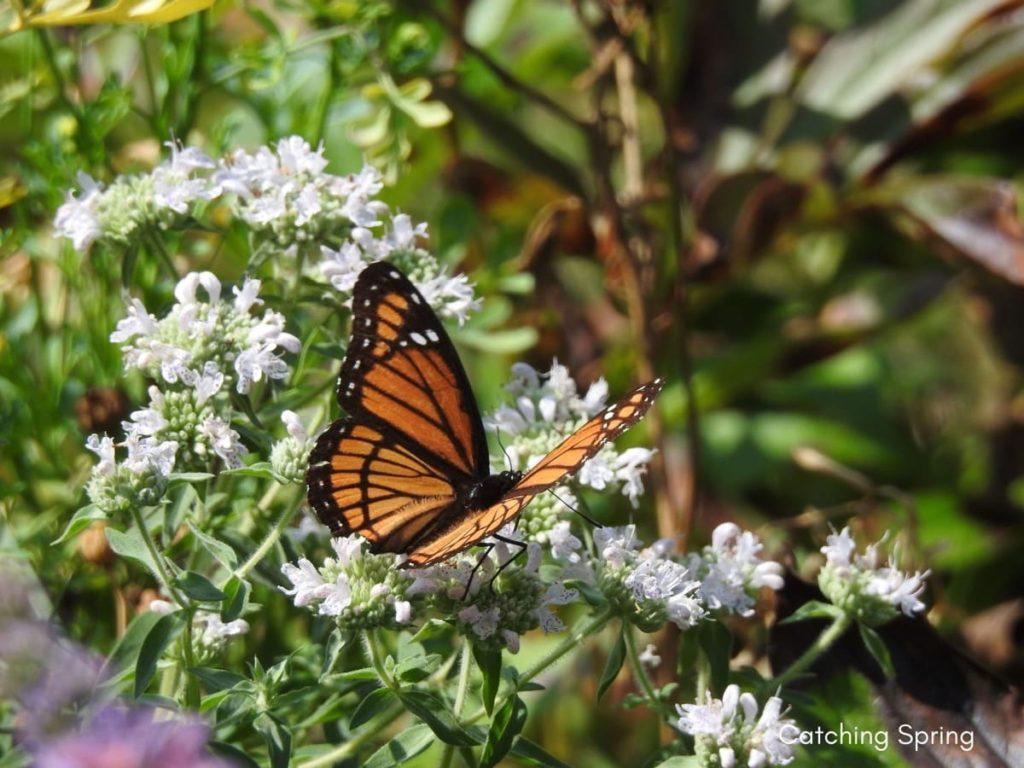 (Over) 60 Host Plants for Attracting Beautiful Butterflies to Your Yard! - viceroy