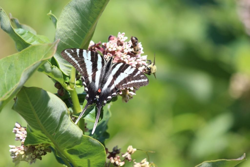 Swallowtail Host Plants - What to Feed 6 Popular Swallowtail Butterflies - Zebra swallowtail