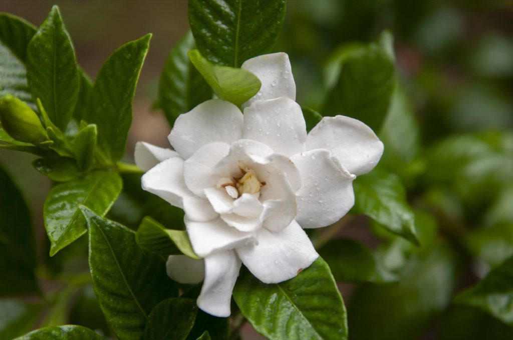 14 best smelling plants for your yard - gardenia