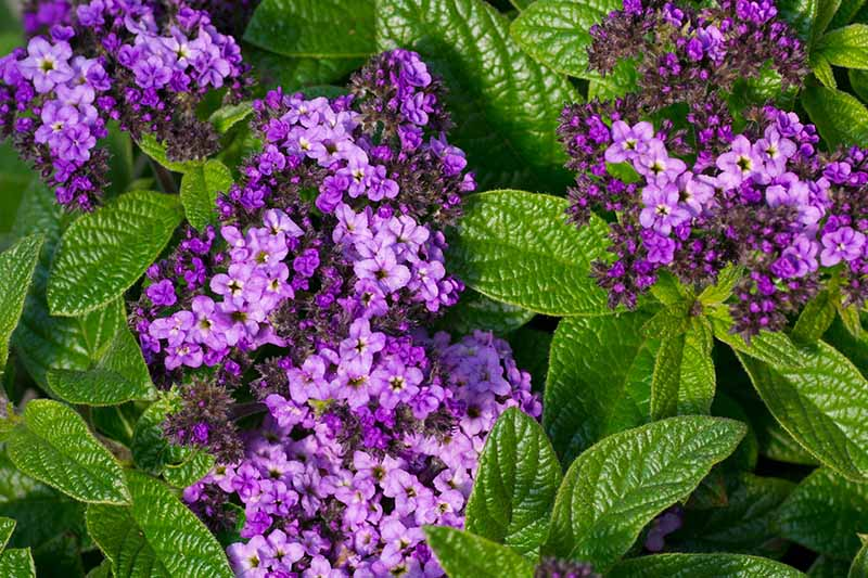 14 best smelling plants for your yard - heliotrope