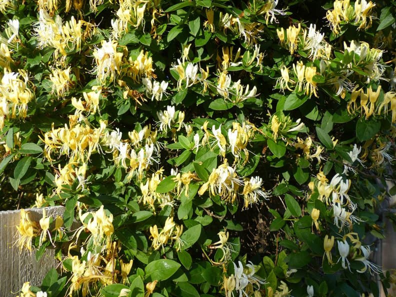 14 best smelling plants for your yard - yellow honeysuckle