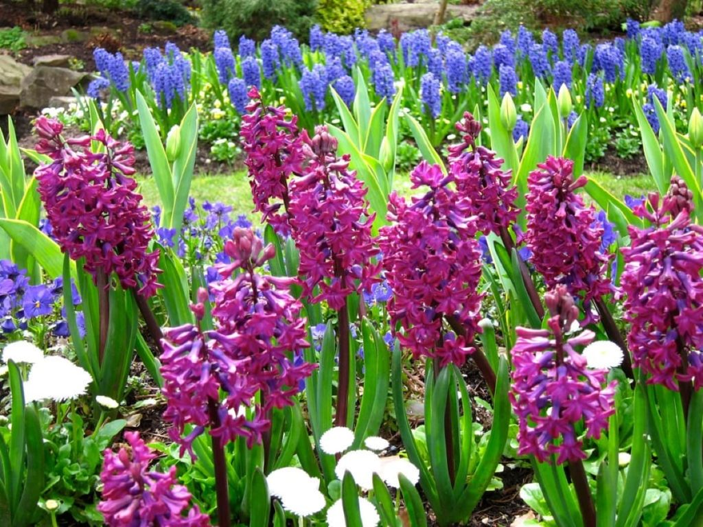 14 best smelling plants for your yard - hyacinth
