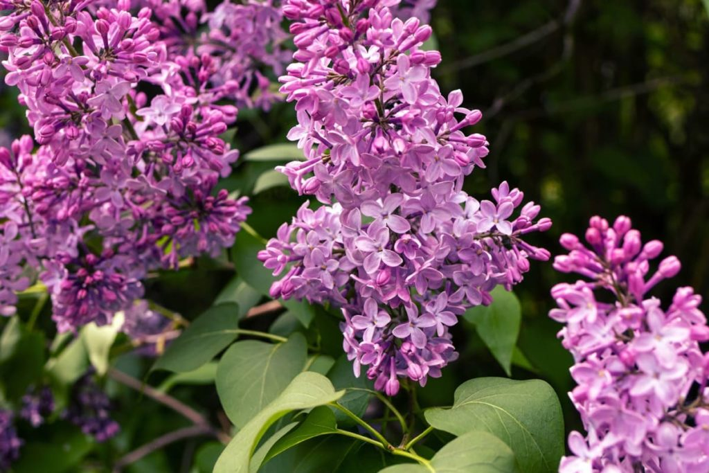 14 best smelling plants for your yard - lilac bush