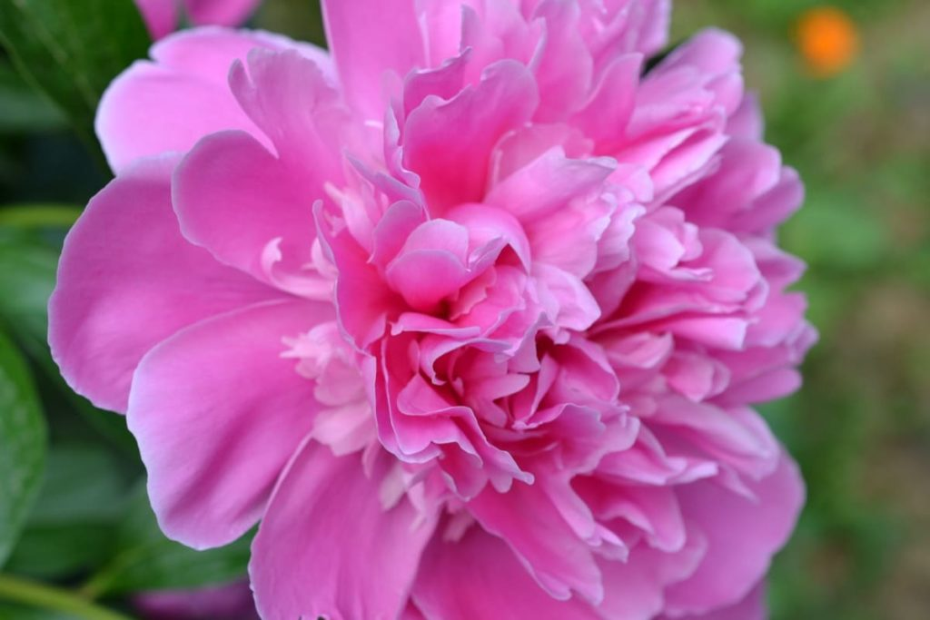 14 best smelling plants for your yard - Peony