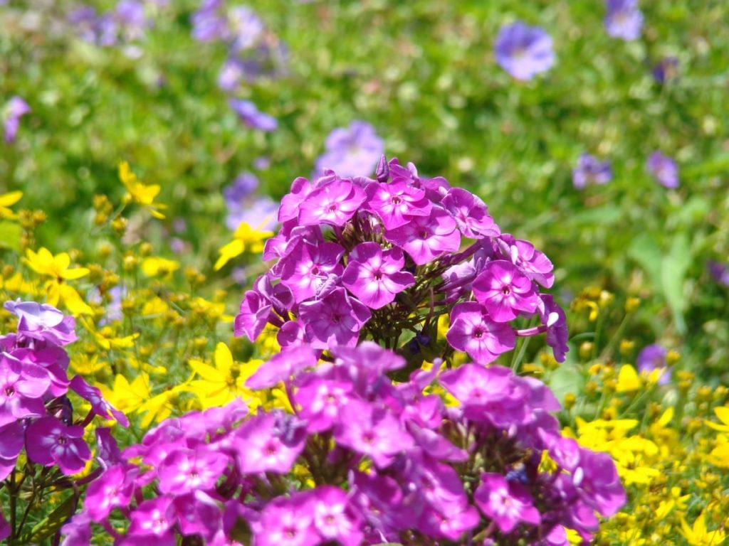 14 best smelling plants for your yard - garden phlox