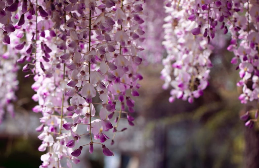14 best smelling plants for your yard - wisteria