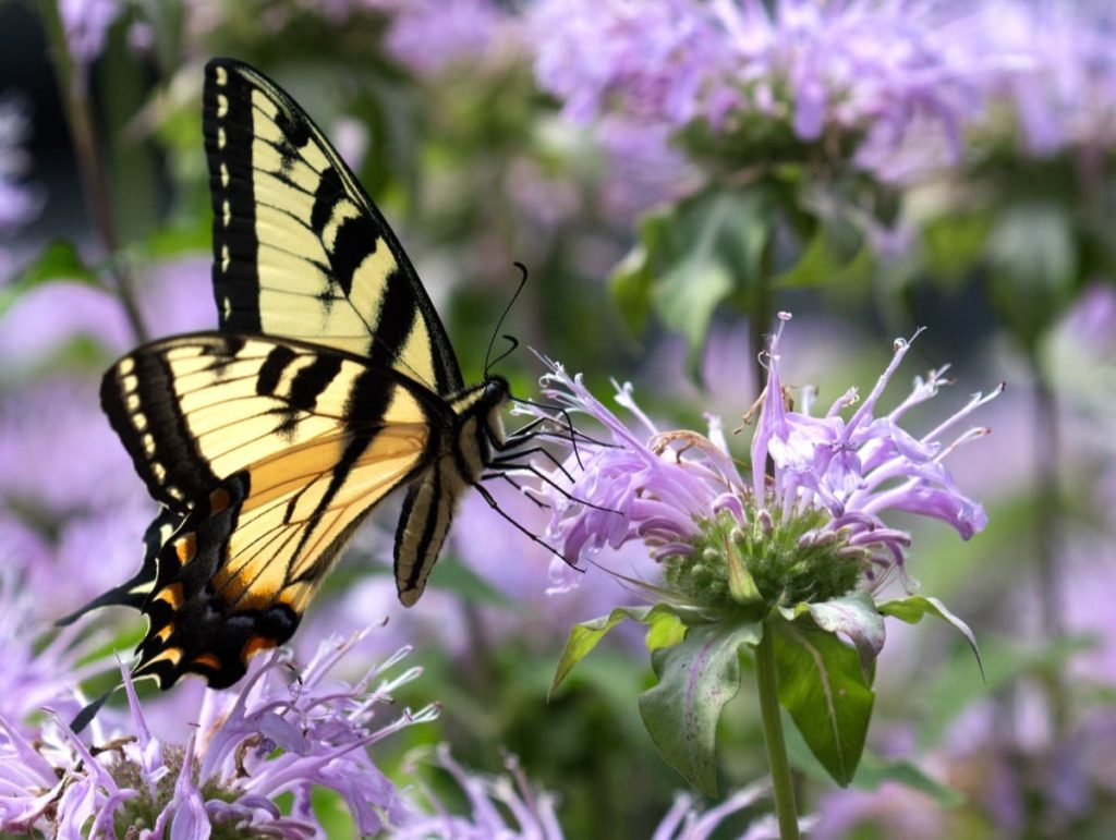 14 best seeds for fall sowing - bee balm