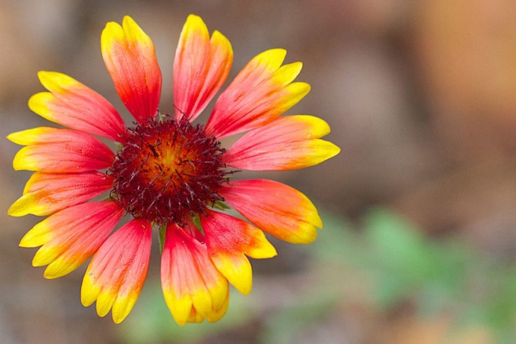 14 best seeds for fall sowing - blanket flower
