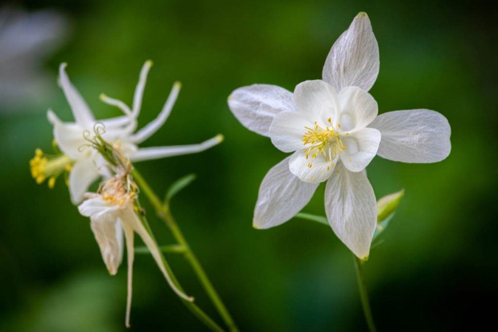14 Best Seeds for Fall Sowing - columbine