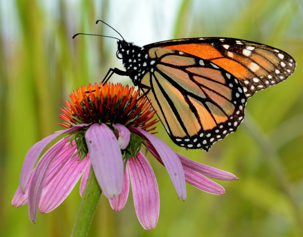 14 best seeds for fall sowing - coneflower