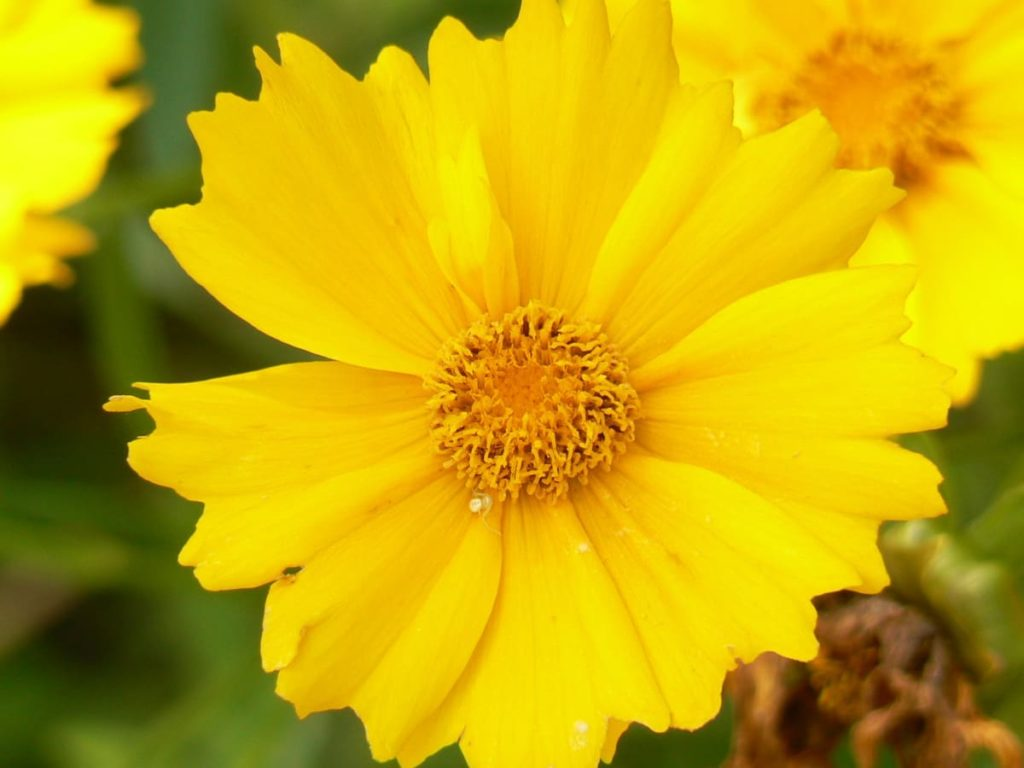 14 Best Seeds for Fall Sowing - coreopsis