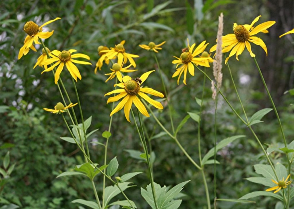 14 Best Seeds for Fall Sowing - cutleaf coneflower