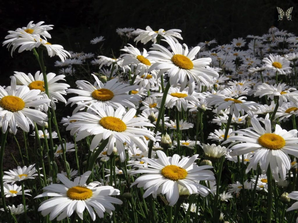 14 Best Seeds for Fall Sowing - shasta daisies