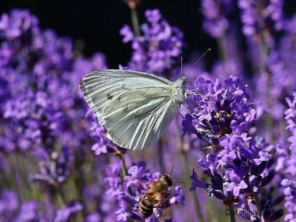 14 best seeds for fall sowing - lavender