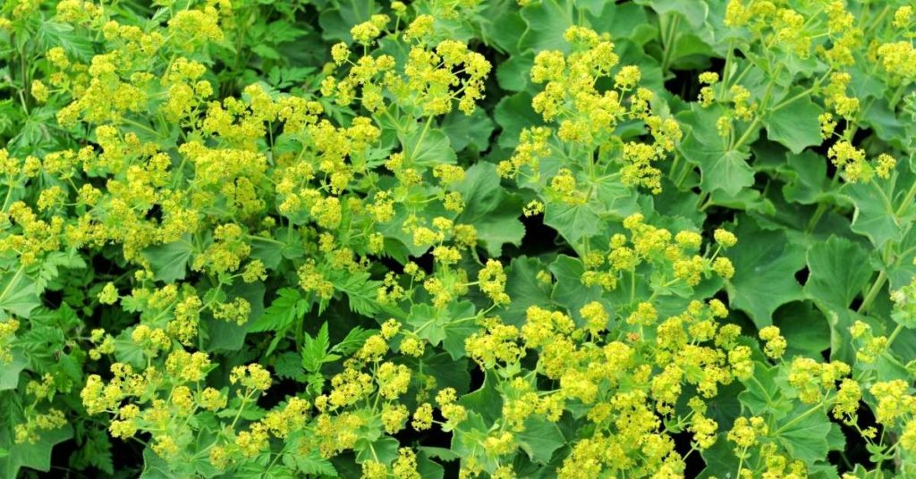 14 Best Seeds for Fall Sowing - Lady's Mantle