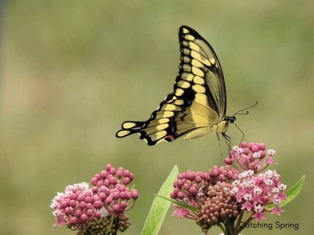 14 best seeds for fall sowing - milkweed