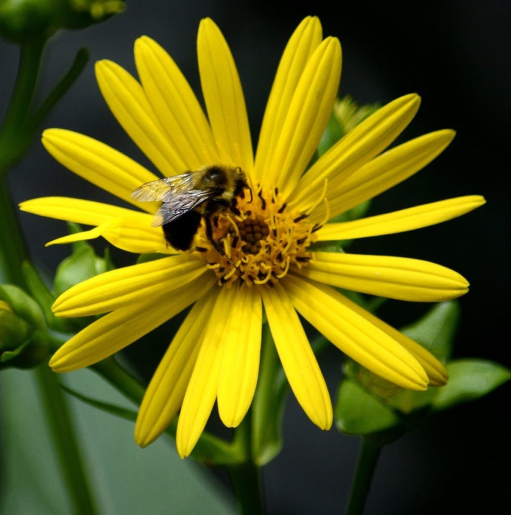 14 Best Seeds for Fall Sowing - perennial sunflowers