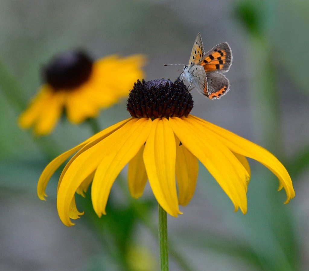 14 best seeds for fall sowing - black-eyed susan